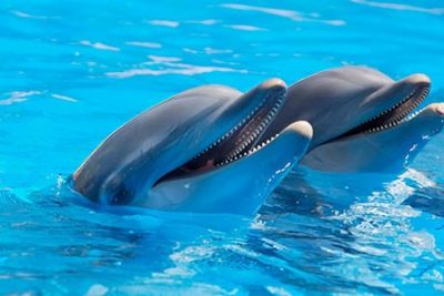 swimming wih dolphins in hurghada 400x267 Excursiones Hurghada